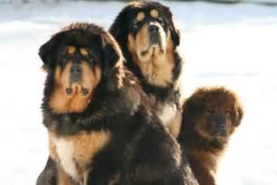 Tibetan Mastiff Dog Puppies