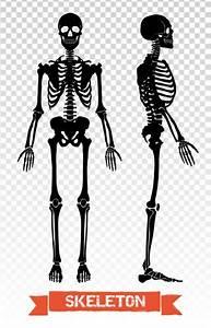 Vector Illustration  Human Skeleton  U2014 Stock Vector