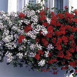 Geranio parigino - fiori e piante ornamentali