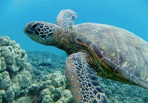 Swim With Hawaiian Green Sea