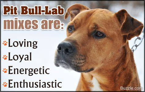 pitbull hound mix lifespan