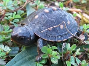 Baby Eastern Box Turtles