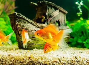Aquarium Fische Süßwasser Liste : fischpflege im urlaub das musst du beachten zooroyal magazin ~ Watch28wear.com Haus und Dekorationen
