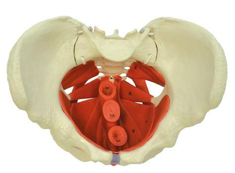 Pelvi Diagram by Pelvis Model With Pelvic Floor Anatomical Models