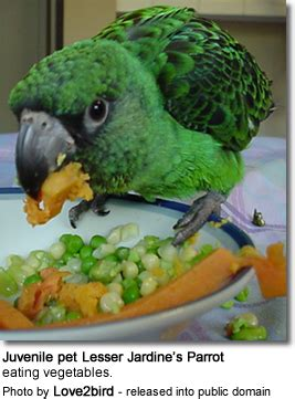 can parrots eat grapes senegal poicephalus parrots dietary requirements feeding beauty of birds