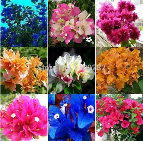 bougainvillea colors mix color bougainvillea spectabilis willd plant seeds to