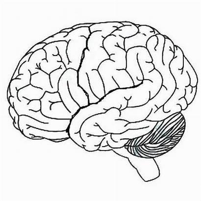 Brain Blank Diagram Human Drawing Lobes Lateral