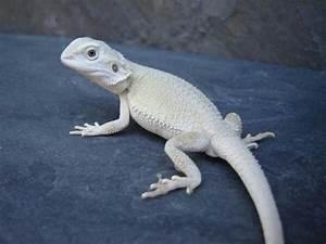Albino Bearded Dragon | Albino Animals | Pinterest