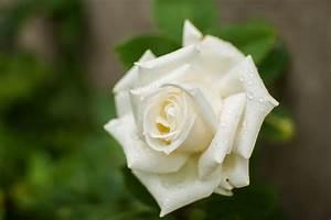 Fleur Rose Et Blanche : fleurs roses et blanches ~ Dallasstarsshop.com Idées de Décoration