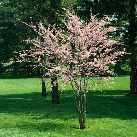 great small trees slow growing trees gardening guide
