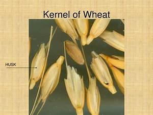Of Wheat Kernel