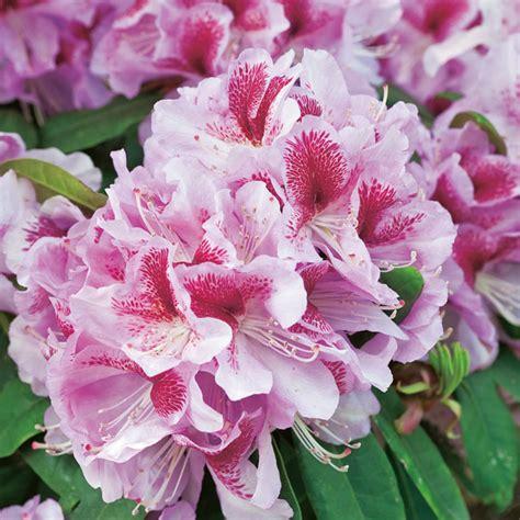 rhododendron durch stecklinge vermehren das vermehren rhododendren zu hause spart geld und macht spa 223