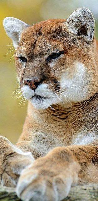 The Best Big Cats Ideas Pinterest Panther Wild