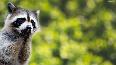 Animal Wallpaper For Home - raccoon hd wallpaper 31767 baltana