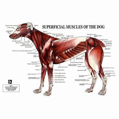 Muscles Dog Superficial Chart Anatomy Muscular System
