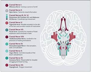 A Comprehensive Guide For Assessment Of The 12 Cranial Nerves