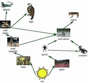 Food Webs - Desert Biome