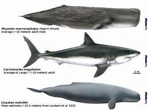 Megalodon Shark Size Vs Blue Whale