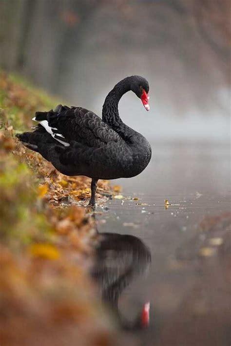 extraordinary beautiful black swan klykercom