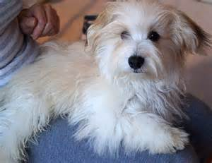 Dogs Havanese Puppies for Sale