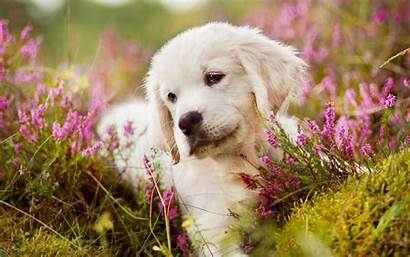 Labrador Puppy 4k Dog Retriever Golden Wallpapers
