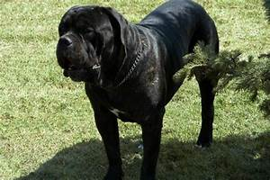 Italian Mastiff Puppies Breed information & Puppies for Sale