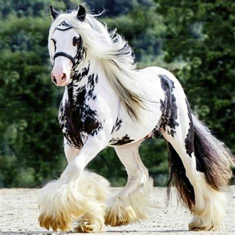 gypsy horse horses vanner pretty clydesdale stallion most caballo caballos cheval gitano heartland chevaux splash corinne eisele markings resultado imagen