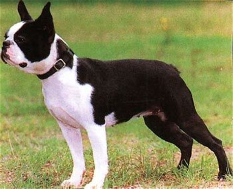 boston terrier wire basket dog muzzles size chart boston terrier muzzle  wire basket