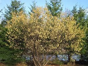Bella Coola Blog: Hazelnut Trees Flowering on Schedule