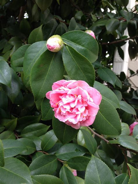 blooming bush pin by sarah sanke on outdoor spaces landscaping inspiration pint