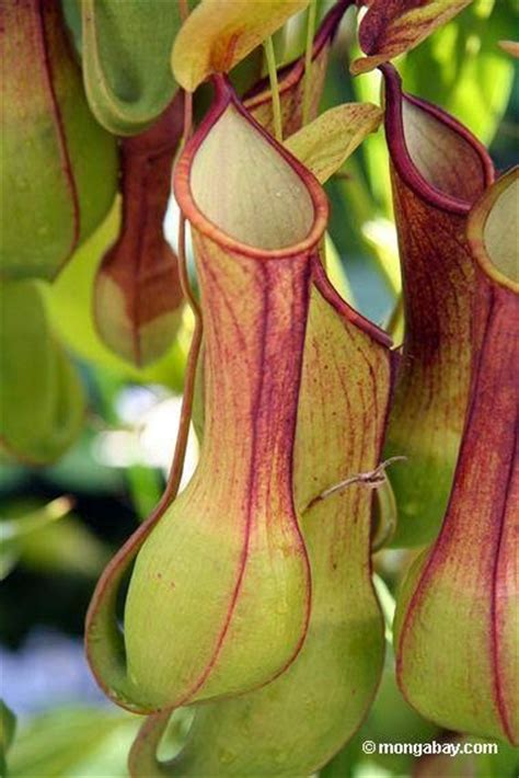 pitcher plant biomimicry design inspired by nature pitcher plant inspires worlds quot slipperiest surface quot