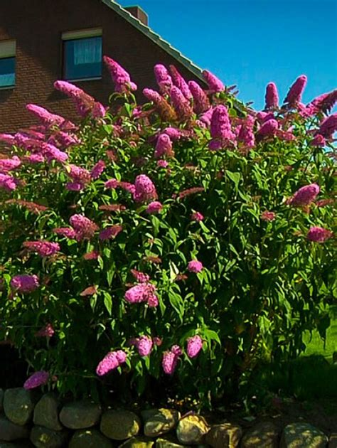 royal red butterfly bush  tree center