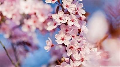 Blossom Cherry Background Blossoms Sakura Flower Wallpapers