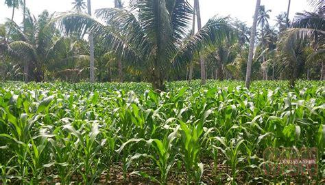 tanaman jagung milik petani daerah kabupaten padang