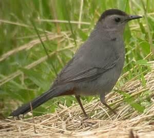 Gray Bird with Black Head