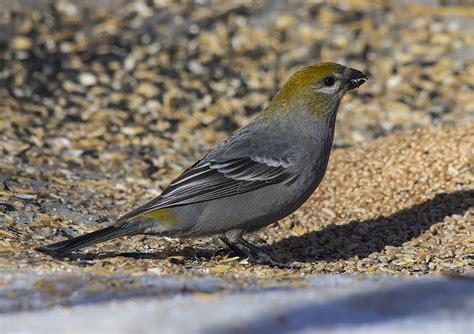 pine grosbeak birds calgary