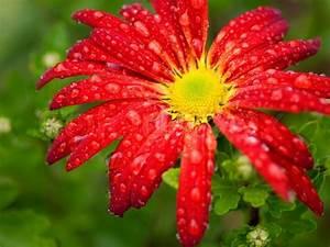 Red flower chrysanthemum radial pattern with rain drops ...