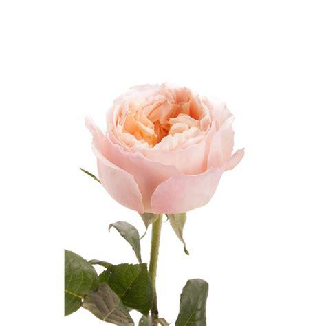 rosy peach  tone garden rose edith garden roses