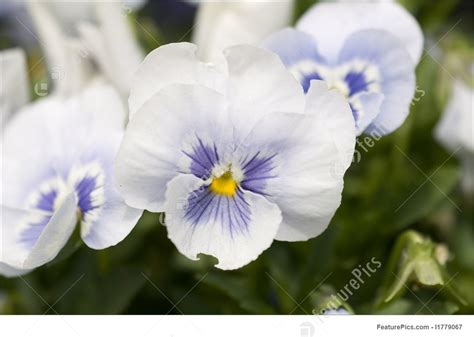 flowers white pansies stock picture   featurepics