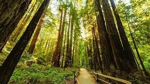Redwood, Trees, Desktop, Wallpapers