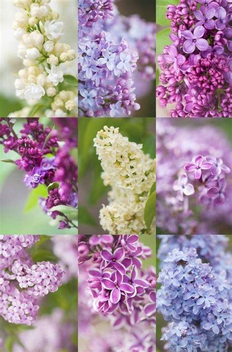 Flieder Pflanzen Schneiden Und Vermehren by Flieder Schneiden Flider Vermehren Blumenideen Garten