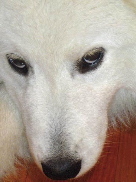 17 Best Images About Samoyed On Pinterest Free Stock