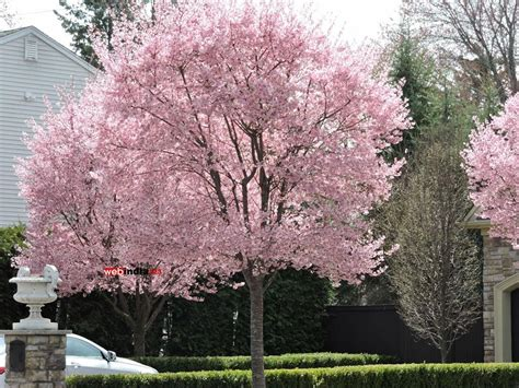 saucer magnolia tree for sale blooming saucer magnolia trees new jersey photos