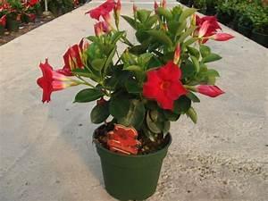 dipladenia sundaville 39rouge39 pot de 14 cm balcon With affiche chambre bébé avec plante fleurie sur tige