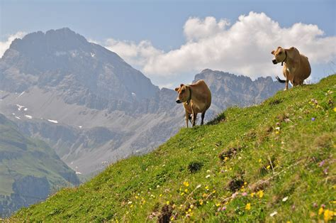cattle   alp cattle   high summer pasture alp