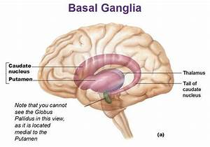 Basal Body Chart When Pictures Of Basal Ganglia