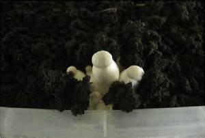 Cultiver Des Champignons De Paris Sans Kit : avec quels champignons utiliser une couche de gobetage ~ Melissatoandfro.com Idées de Décoration