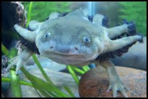 Salamander Water Dog Fish