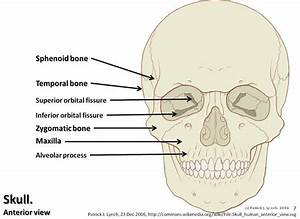 Skull diagram, anterior view with labels part 2 - Axial Sk ...