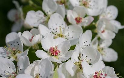 Pear Blossoms Flowers Flower Blossom Spring Wallpapers